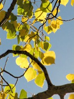 Aspen Leaves - B